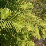 Metasequoia glyptostroboides Hu & W.C.Cheng 4