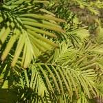 Metasequoia glyptostroboides Hu & W.C.Cheng 5
