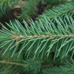 Picea engelmannii Engelm. 3