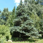 Picea glauca (Moench) Voss 1