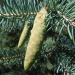 Picea glauca (Moench) Voss 12