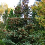 Picea glauca (Moench) Voss 13