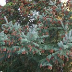 Picea glauca (Moench) Voss 14