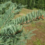 Picea glauca (Moench) Voss 18