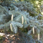 Picea glauca (Moench) Voss 8