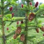 Picea jezoensis (Siebold & Zucc.) Carr. 4