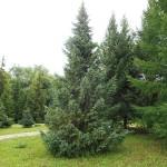 Picea mariana (Mill.) Britt. et al 1