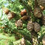 Picea mariana (Mill.) Britt. et al 10