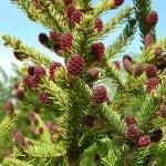 Picea mariana (Mill.) Britt. et al 2