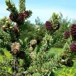 Picea mariana (Mill.) Britt. et al 3