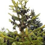 Picea mariana (Mill.) Britt. et al 4