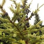 Picea mariana (Mill.) Britt. et al 5