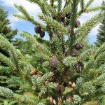 Picea mariana (Mill.) Britt. et al 6