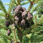 Picea mariana (Mill.) Britt. et al 7