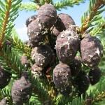 Picea mariana (Mill.) Britt. et al 8