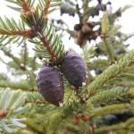 Picea mariana (Mill.) Britt. et al 9