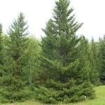 Picea obovata Ledeb. 1