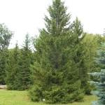 Picea obovata Ledeb. 2