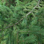 Picea obovata Ledeb. 3