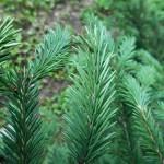 Picea obovata Ledeb. 4