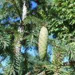 Picea obovata Ledeb. 6