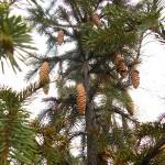 Picea obovata Ledeb. 8
