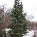Picea omorica (Panc.) Purk 1