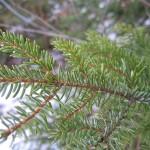 Picea omorica (Panc.) Purk 2