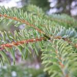 Picea omorica (Panc.) Purk 3