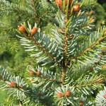 Picea omorica (Panc.) Purk 4