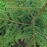 Picea orientalis (L.) Peterm 'Aurea' 1