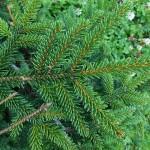 Picea orientalis (L.) Peterm 'Aurea' 2
