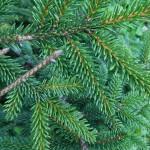 Picea orientalis (L.) Peterm 'Aurea' 3