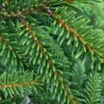 Picea orientalis (L.) Peterm 'Aurea' 4