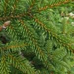 Picea orientalis (L.) Peterm 'Aurea' 5