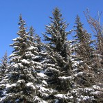 Picea pungens Engelm. 1