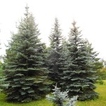 Picea pungens Engelm. 2