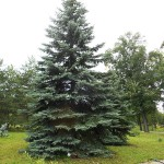 Picea pungens Engelm. 3