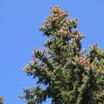 Picea pungens Engelm. 4