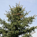 Picea pungens Engelm. 5