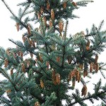 Picea pungens Engelm. 6