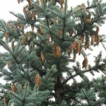 Picea pungens Engelm. 7