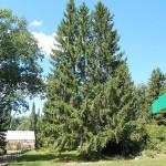 Picea x fennica (Regel) Kom. 1