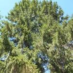 Picea x fennica (Regel) Kom. 2