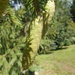 Picea x fennica (Regel) Kom. 4