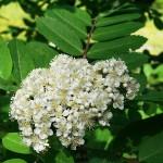Sorbus aucuparia L. 'Krupnoplodnaya' (Р. обыкн. 'Крупноплодная') 1