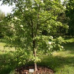 Sorbus aucuparia L. 'Krupnoplodnaya' (Р. обыкн. 'Крупноплодная') 4