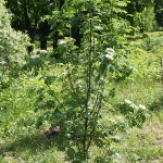Sorbus aucuparia L. 'Rossica' (Рябина обыкновенная 'Rossica')