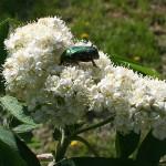 Sorbus aucuparia L. 'Rossica' (Рябина обыкновенная 'Rossica') 2