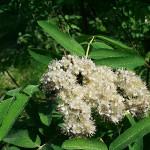 Sorbus aucuparia L. 'Rossica' (Рябина обыкновенная 'Rossica') 3